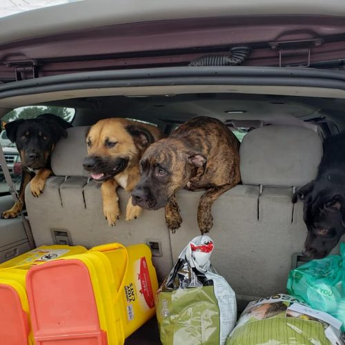Dogs in backseat
